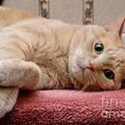 Orange Tabby Cat Lying Down Poster