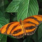 Orange Tiger Butterfly Or Banded Orange Poster