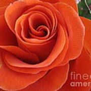 Orange Twist Rose 2 Poster
