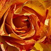 Orange Variegated Rose Poster