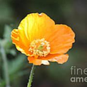 Orange Welsh Poppy Poster