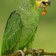 Orange-winged Parrot Amazonian Ecuador Poster