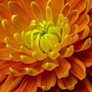 Orange Yellow Mum Poster