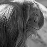 Orangutan Black And White Poster