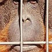 Orangutan Face Watching From Behind Steel Bars Poster
