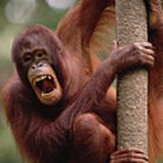 Orangutan Hanging On Tree Poster