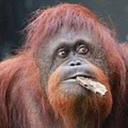 Orangutan Portrait Poster