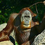 Orangutan Scratches With Stick Poster
