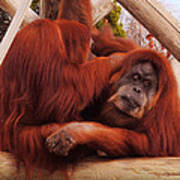 Orangutans Grooming Poster