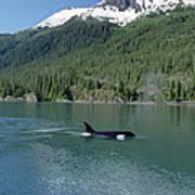 Orca Female Inside Passage Alaska Poster