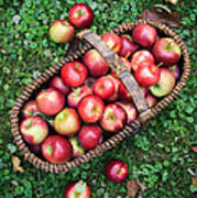 Orchard Fresh Picked Apples Poster