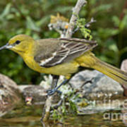 Orchard Oriole Female Poster