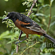 Orchard Oriole Male Poster