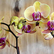 Orchid Beauties Poster
