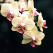 Orchid Blossom Poster