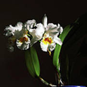 Orchid Cattleya Bow Bells Poster