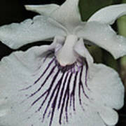 Orchid Cochleanthes Aromatica  Menehune Poster