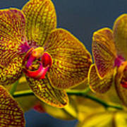 Orchid Color Poster