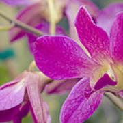 Orchid - Haliimaile Spring Pink Poster