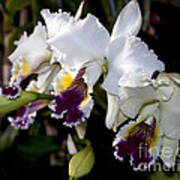 Orchid Laeliocattleya Lucie Hausermann With Buds 4074 Poster