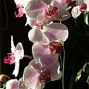 Orchid Tropical Blooms Poster