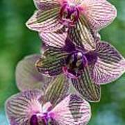 Orchid Two Poster