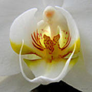 Orchid Upclose Abstract Poster