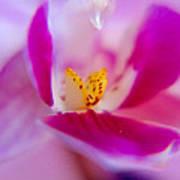 Orchide Petals Poster by Kim Lagerhem