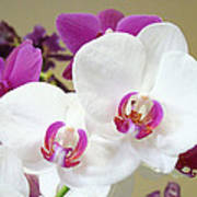 Orchids Floral Art Prints White Pink Orchid Flowers Poster