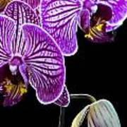 Orchids On Black Background Poster