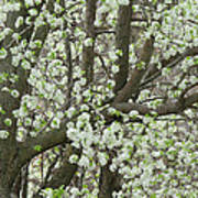 Oriental Pear Tree Poster