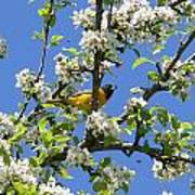 Oriole In A Pear Tree Poster