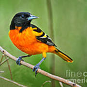 Oriole Perched Poster