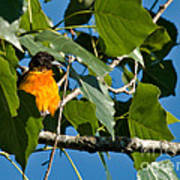 Oriole Watching Poster