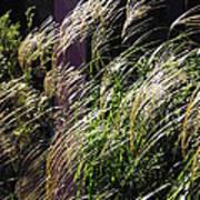 Ornamental Grass Poster