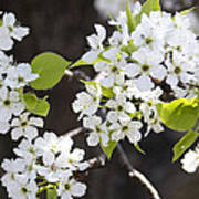 Ornamental Pear Blossoms No. 1 Poster