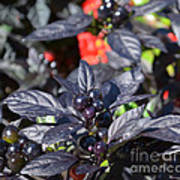 Ornamental Peppers Poster