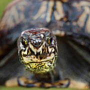Box Turtle Close-up Poster