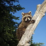 Orphaned Raccoon Poster