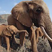 Orphans Malaika With Nyiro Tsavo Kenya Poster
