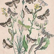 Orthosidae - Hadenidae Poster