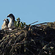 Osprey Chicks In Nest Poster