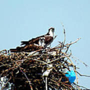 Osprey Couple Poster