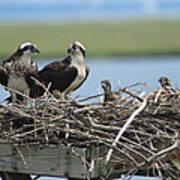 Osprey Family Poster