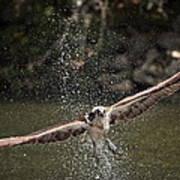 Osprey Fishing The Nequasset River Poster by Allen Ponziani