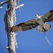 Osprey Fly By Poster