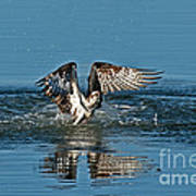 Osprey Getting Out Of The Water Poster