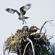 Osprey In Flight Over Nest Poster