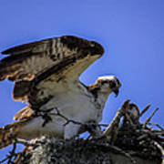 Osprey In The Nest Poster