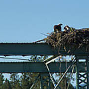 Osprey Nest With Mom And Chicks Poster